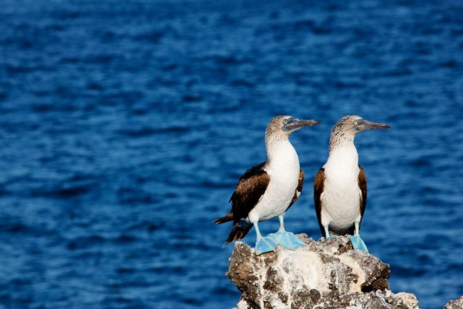 Bluefooted booby II