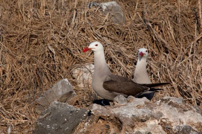 Heermann's Gull I. Precio según soporte y medidas