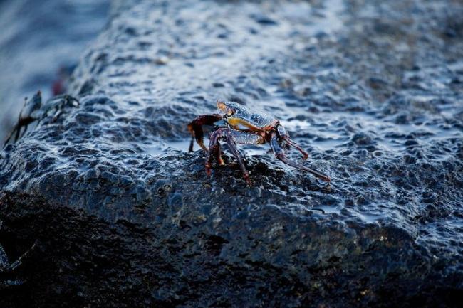 El rey Crab. Precio según soporte y medidas - Sigi Pablo