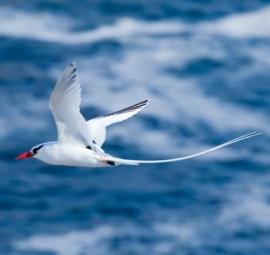 Tropic-bird. Precio según soporte y medidas