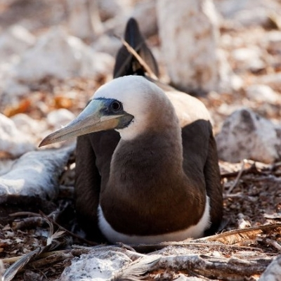 Brown booby I