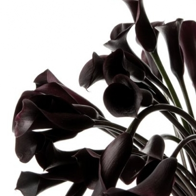 Alcatraces negros. Precio según soporte y medidas