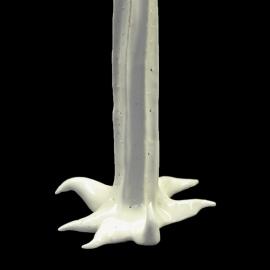 Mimosifolia